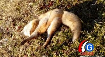 Nakon vukova, stalni problem u  Hercegovini su i lisice
