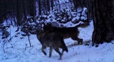 Pogledajte rijetku snimku vukova na Velebitu