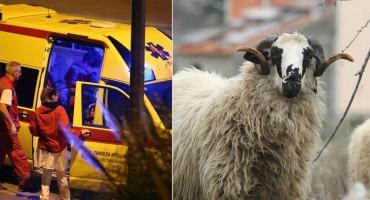 Imoćane poharala Q groznica: zarazna bakterija nalazi se u kozjoj i ovčjoj mokraći