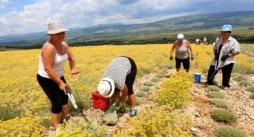 Uzgajivači smilja i malina mogu se prijaviti za program potpore od 52 milijuna KM