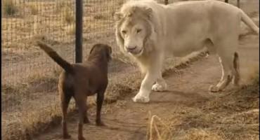Lav zgrabio psa za šapu pa napravio nešto nevjerojatno