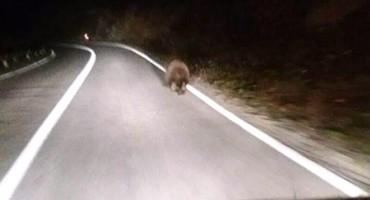 Mali medo trčao na cesti između Gruda i Posušja