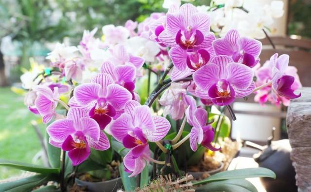 Mali trikovi s kojima će orhideja duže živjeti