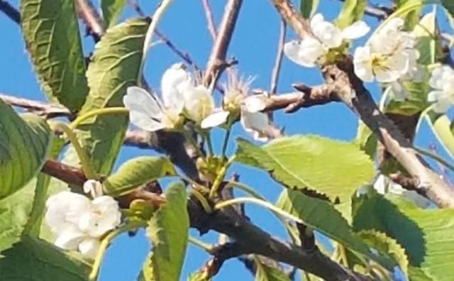 Čudo u Mostaru: Na pola trešnje stari listovi, a drugo pola procvjetalo