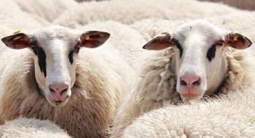 Stado ne može biti dobro ako mu je pastir ovca