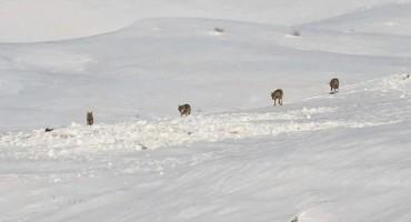Predivan prizor: Čopor vukova u zimskoj idili Glamoča