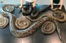 Nosila 73 jajeta: Ulovljena zmija teška 64 kilograma