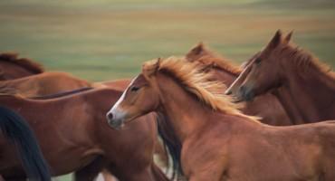 U Hercegovini ubijena dva divlja konja