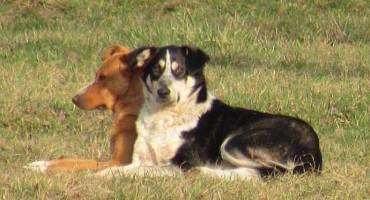 HNŽ:  Besplatne sterilizacije i kastracije vlasničkih pasa i pasa lutalica