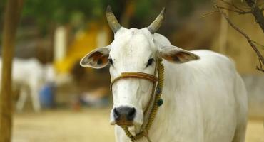 Indijac zaklao kravu, seljani se skupili i tukli ga do smrti