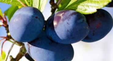 Dani šljive: Poziv na stručna predavanja iz poljoprivrede i turizma