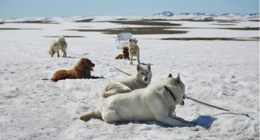 Otapanje leda na Grenlandu prijeti psima za vuču sanjki