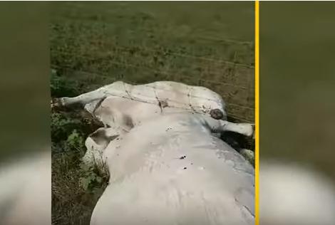 Bizarna nesreća: Grom udario jednu kravu, elektricitet preko ograde ubio cijelo stado