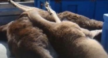 Australski tinejdžer autom pomeo i ubio 20 klokana, prijeti mu 5 godina zatvora