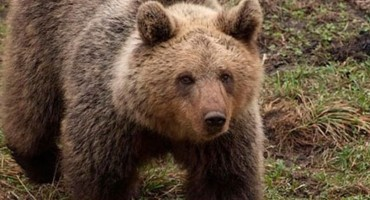 Medvjedi sve češće u središtu Kupresa