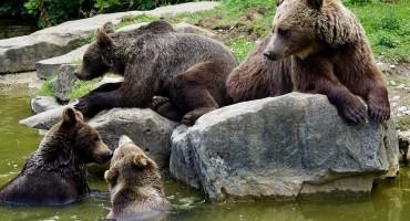 Medvjedi u HBŽ-u dolaze u naselja: Potrebno izraditi plan gospodarenja mrkim medvjedom