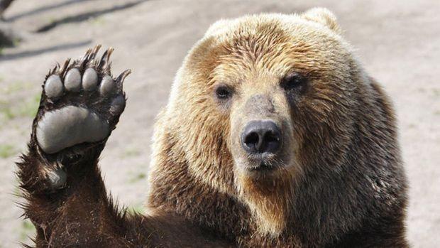 Medvjed ponovno uništavao košnice na Kupresu; Obilježio teritorij urlikanjem