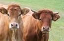 Farmeri prijete izlaskom na granice i blokadom uvoza govedine u BiH