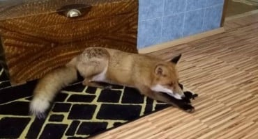 Lisica se udomaćila u kući fojničke obitelji