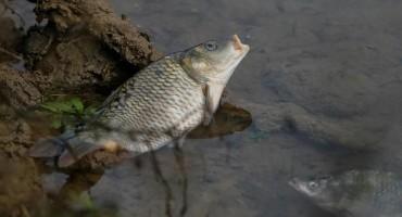 Pomor ribe u potoku Sušica u blizini Uborka