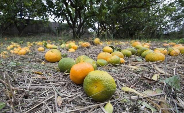 Velike količine kiše uništavju urod mandarina, neretvanski voćari su očajni