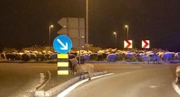 Ovce okupirale kružni tok u poslovnoj zoni u Zagrebu