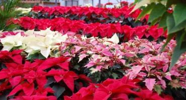Božićna zvijezda omiljeni cvijet prosinca: Kako će vam potrajati duže