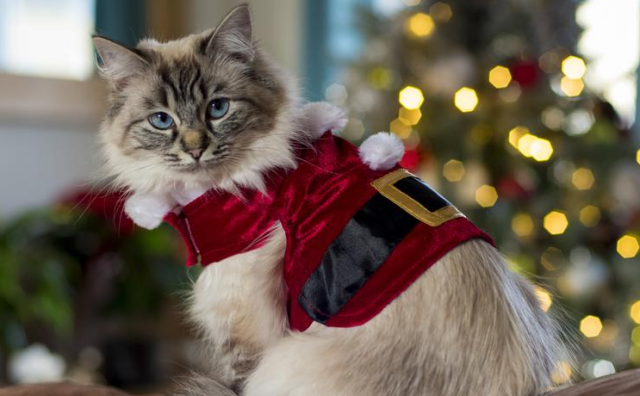 Zašto mačke nikada ne biste smjeli odijevati u božićne opravice