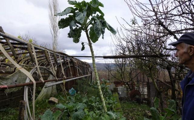 Uzgojio raštiku visoku tri metra u Zmijavacima kod Imotskog