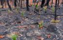 SIMBOL NADE Pogledajte kako se nakon požara u Australiji šuma čudesno obnavlja
