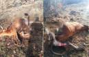 JEZIV PRIZOR Čopor vukova usmrtio kravu u Tomislavgradu