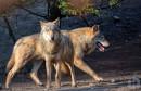 Čopor vukova rastrgao psa u selu kod Tomislavgrada