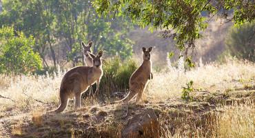 AUSTRALIJA Počelo ubijanje smrtno ozlijeđenih klokana