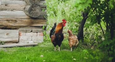 UPOZORENJE Slučajevi ptičje ili kokošje gripe mogući i u BiH