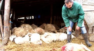 Psi lutalice usmrtile desetak ovaca na imanju kod Bosanske Gradiške