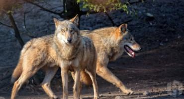 U ljubuškim selima sve češći napadi vukova na domaće životinje