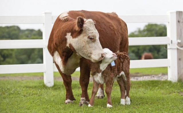 HITNO Uprava za neizravno oporezivanje prodaje kravu i tele