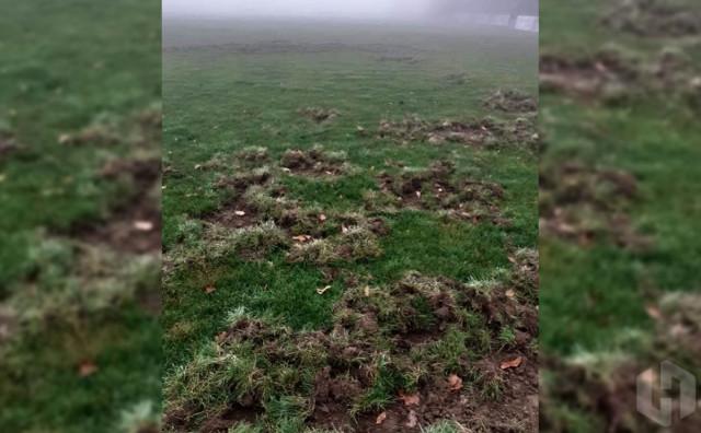 NOGOMET U BIH Divlje svinje uništile teren drugoligaša