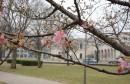 Prvi cvjetovi japanske trešnje u Mostaru