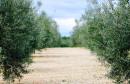 PROPALO SMILJE Hercegovci sade trešnje, smokve i masline