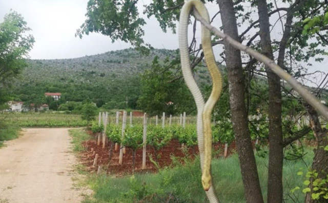 MEĐUGORJE Ubio zmiju dugu 238 centimetara