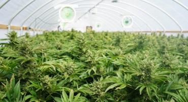 LJUBUŠKI Uzgajao marihuanu u plasteniku iza kuće