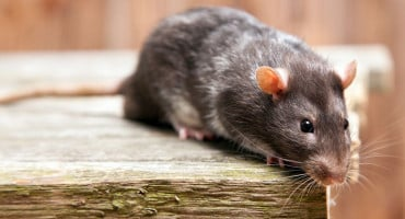 Deratizacija u HNŽ-u, vlasnici životinja se pozivaju na oprez