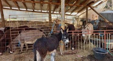 GRUDE Ljekovito magareće mlijeko kupuju Švicarci, Francuzi, Šveđani