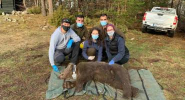 BLIDINJE Ogrlicom označen dvogodišnji medvjed 'Vranac'