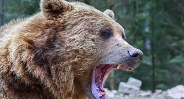 KONJIC Medvjed teško ozlijedio pastira
