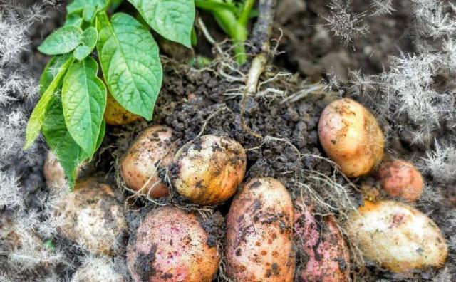 POLJOPRIVREDNICI NA MUKAMA Stradao krumpir, a problema bi mogli imati i vinogradari