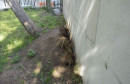 Čempresi u parku padaju k'o s kruške, izgleda da stablo ipak ne može bez korijenja