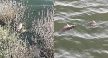 Što se događa s ribom u Buškom jezeru?