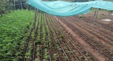 UZGAJALI 6000 STABLJIKA Mjesec dana pritvora zbog uzgoja indijske konoplje